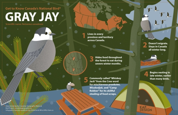 'Get to Know Canada's National Bird' infographic by KAP Design.