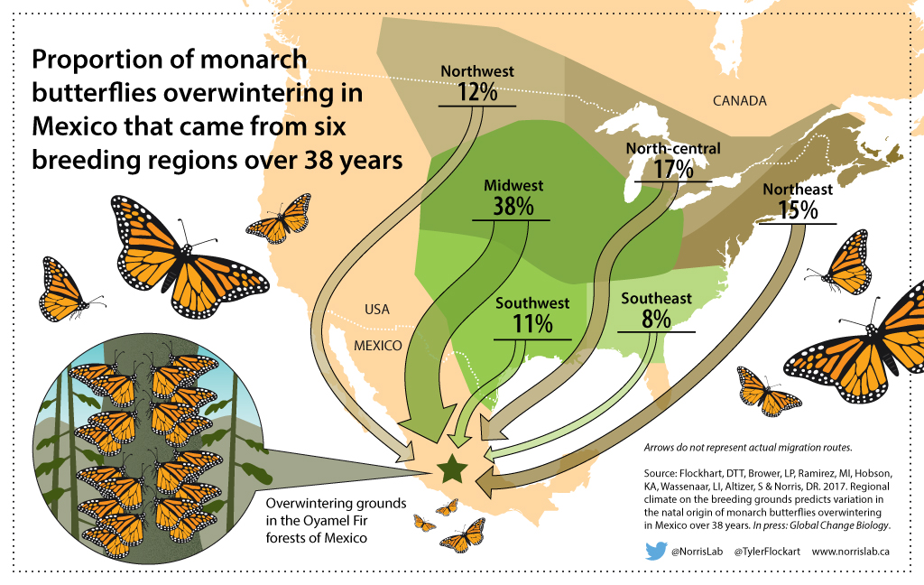 Infographic Monarch Butterfly Migration on Life Cycle Of A En Worksheet
